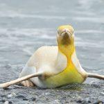 Georgias del Sur: Belga fotografió por primera vez a un pingüino amarillo
